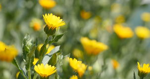 Żółty chamomile kwitnie w lato popióle zbiory wideo