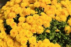 Żółty chryzantema kwiatów ogród w świetle słonecznym Obrazy Stock