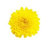 Żółty chryzantema kwiat   na białym tle, z Fotografia Royalty Free