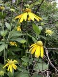 Żółty Coneflower Pinnata lub Ratabida Zdjęcie Royalty Free