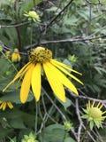 Żółty Coneflower Pinnata lub Ratabida Zdjęcie Stock