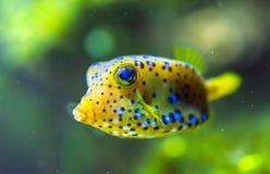 Żółty Cubicus Boxfish w akwarium Obrazy Royalty Free