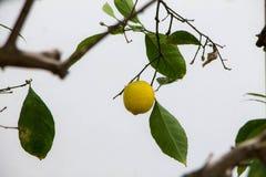 Żółty cytryny obwieszenie na drzewie na chmurnym dniu Obraz Royalty Free