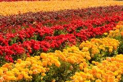 Żółty czerwony żółty kwiatu pole Obrazy Stock