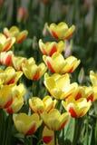 Żółty czerwony tulipanowy zbliżenie Zdjęcia Royalty Free