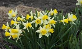 Żółty daffodil Zdjęcia Stock