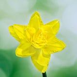 Żółty daffodil kwiat, zamyka up żółty gradientowy tło, zieleń (narcyz) Obraz Stock