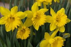 Żółty Daffodils kwiatów Kiełkować Obrazy Stock