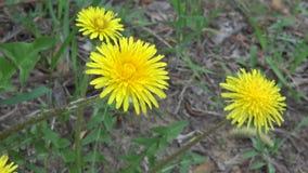 Żółty dandelion zdjęcie wideo