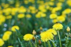 Żółty dandelion Obrazy Stock