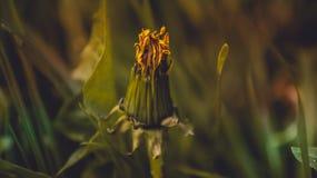 Żółty dandelion Obraz Stock