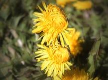 Żółty dandelion Obraz Royalty Free