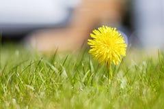 Żółty dandelion 1 i trawa Zdjęcie Royalty Free