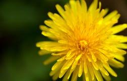 Żółty dandelion kwiat Obrazy Stock
