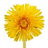 Żółty Dandelion kwiatu zakończenie na Białym tle (Taraxacum Officinale) Zdjęcia Royalty Free