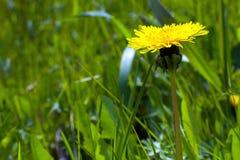 Żółty Dandelion Kwitnie na Zielonej trawie Zdjęcia Royalty Free