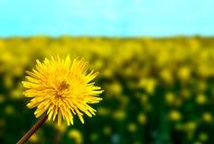 Żółty Dandelion Kwitnie na Zielonej trawie Fotografia Royalty Free