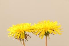 Żółty dandelion kwitnie w miękkim nastroju Fotografia Royalty Free