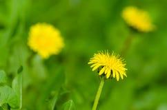 Żółty dandelion na zielonym tle Zdjęcie Stock