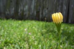 Żółty dandelion pączek w jardzie Zdjęcie Stock