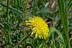 Żółty dandelion w polanie Zdjęcia Royalty Free