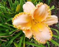 Żółty daylily Forestlake obdartus Zdjęcie Stock