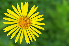 Żółty doronicum Zdjęcia Royalty Free