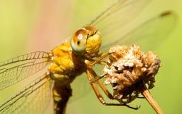 Żółty dragonfly fotografujący w przodzie Fotografia Royalty Free