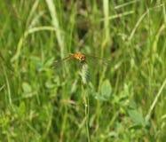 Żółty dragonfly siedzi na badyl turzycy łące z zamazanym backg Obrazy Stock