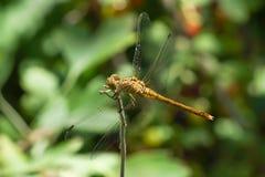 Żółty dragonfly Sympetrum flaveolum z ssać larwami cwelicha Trombidiidae, Erythraeidae Fotografia Stock