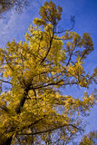 Żółty drzewo Obraz Stock