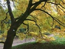 Żółty drzewo Obraz Royalty Free