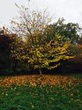 Żółty drzewo Obrazy Royalty Free