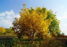 Żółty drzewo w słonecznym dniu Zdjęcia Royalty Free