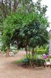 Żółty działający bambus, żółty gaju bambus lub Moso bambus feath, Zdjęcia Royalty Free