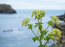 Żółty dziki koperkowy kwiat na płytkim tle Obrazy Royalty Free