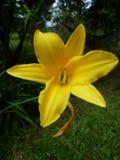 Żółty dziki kwiat Obraz Stock