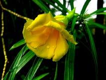 Żółty dzwonkowy kwiat Obrazy Royalty Free