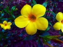 Żółty dzwonkowy kwiat Zdjęcie Royalty Free