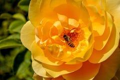 Żółty Europejski bumblebee na kolor żółty róży Obrazy Stock