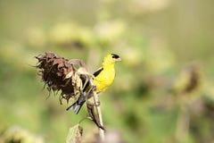 Żółty Finch zdjęcia stock