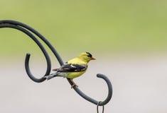 Żółty Finch zdjęcie royalty free
