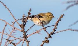Żółty Finch W zimie Obrazy Royalty Free