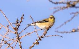 Żółty Finch W zimie Fotografia Royalty Free