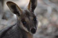 Żółty Footed Rockowy Wallaby, Wilpena funt zdjęcie royalty free