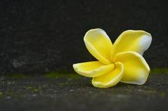 Żółty Frangipani kwiat Zdjęcie Royalty Free
