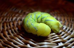 Żółty gąsienicowy zakończenie Zdjęcie Stock