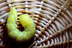 Żółty gąsienicowy zakończenie Obrazy Royalty Free