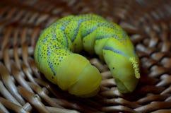 Żółty gąsienicowy zakończenie Fotografia Stock