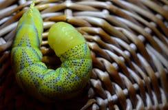 Żółty gąsienicowy zakończenie Obraz Royalty Free